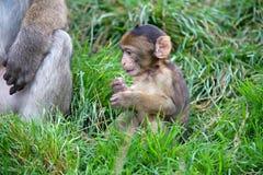 巴贝里猕猴属短尾猿sylvanus 图库摄影