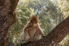 巴贝里猿在海尼夫拉,北摩洛哥,非洲附近的雪松森林里 库存照片