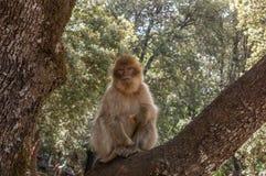 巴贝里猿在艾兹鲁,北摩洛哥,非洲附近的雪松森林里 图库摄影