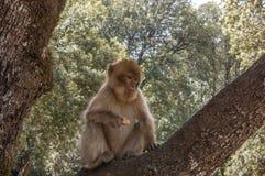 巴贝里猿在艾兹鲁,北摩洛哥,非洲附近的雪松森林里 免版税库存照片