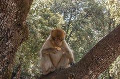 巴贝里猿在艾兹鲁,北摩洛哥,非洲附近的雪松森林里 库存照片