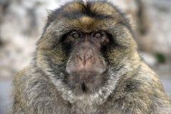 巴贝里猿或短尾猿,猕猴属sylvanus 免版税图库摄影