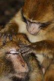 巴贝里猿(猕猴属sylvanus)在雪松木头nea 免版税库存照片