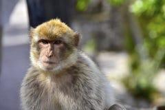 巴贝里猿 免版税库存图片