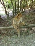 巴贝里猿 库存图片