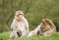 巴贝里短尾猿二 图库摄影
