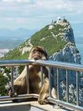 巴贝里短尾猿 免版税库存照片
