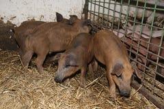 里面小的小猪在动物谷仓农村场面 免版税图库摄影