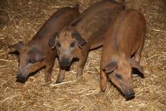 里面小的小猪在动物谷仓农村场面 免版税库存图片