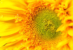 里面所有区大详细资料充分的图象查找被采取的不是种子向日葵是 免版税库存照片