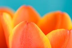 里面红色和橙色郁金香花 库存图片