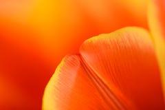 里面红色和橙色郁金香花 免版税库存照片