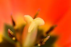 里面红色和橙色郁金香花 库存照片