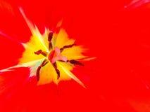 里面红色郁金香 库存照片