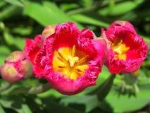 里面镶褶边的桃红色郁金香 免版税库存照片