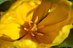 里面黄色郁金香 库存图片