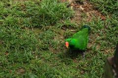 洛里鹦鹉 免版税图库摄影
