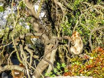 巴贝里猴子猿坐直布罗陀,欧洲的岩石 免版税库存图片