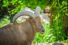 巴贝里绵羊和树 图库摄影