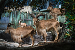 巴贝里绵羊在动物园里 免版税图库摄影