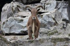 巴贝里绵羊(Ammotragus lervia) 库存图片