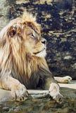 巴贝里(豹属利奥利奥),危急地危险的狮子画象 库存图片