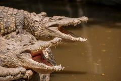 重庆鳄鱼鳄鱼水池中心 免版税库存照片