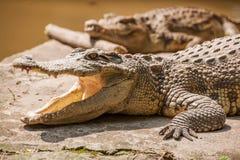 重庆鳄鱼鳄鱼水池中心 图库摄影