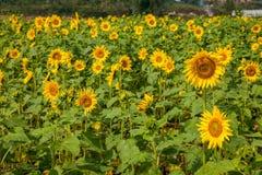 重庆巴南花和树在向日葵开花的庭院的世界 库存图片