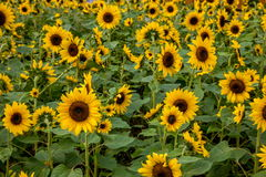 重庆巴南花和树在向日葵开花的庭院的世界 免版税库存照片