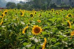 重庆巴南花和树在向日葵开花的庭院的世界 图库摄影