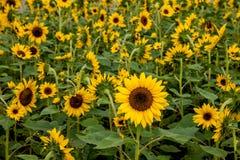 重庆巴南花和树在向日葵开花的庭院的世界 免版税库存图片