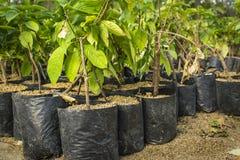 重新造林的年轻新芽 库存图片