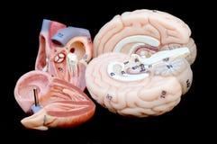重点和脑子 图库摄影