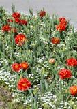 重点庭院红色有选择性的春天郁金香 库存图片