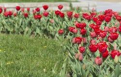 重点庭院红色有选择性的春天郁金香 免版税库存图片