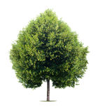 重点菩提树形状的结构树 免版税库存图片