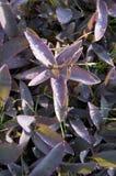 重点pallida紫色紫鸭跖草 图库摄影
