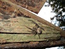 重的细长的树蜘蛛 危险胡扯 免版税库存照片