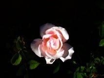 重读一朵桃红色玫瑰的光和阴影 免版税库存图片