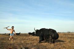 野人寻找与矛的牦牛 免版税库存照片