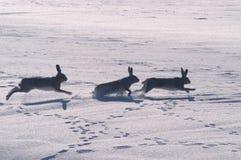 野兔作用 免版税库存照片