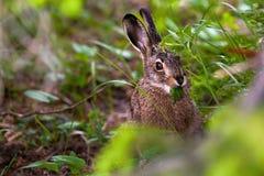 野兔吃植物 免版税库存图片
