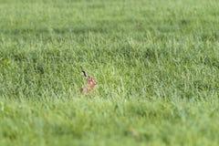 野兔在牧场地春天 免版税库存图片