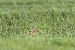 野兔在牧场地春天 库存图片