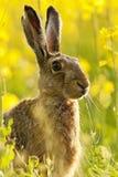 野兔在野花草甸 免版税图库摄影