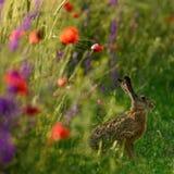 野兔坐在与鸦片的一个领域边缘 免版税图库摄影