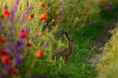 野兔坐在与鸦片的一个领域边缘 库存图片