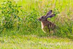 野兔坐草甸 复制空间 库存照片