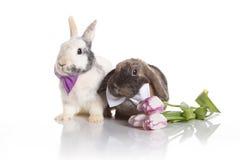 野兔婚礼 图库摄影